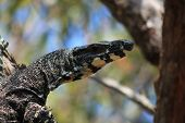 picture of goanna  - Face of an Australian goanna hiding up a tree - JPG