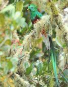 Resplendant Quetzal Male