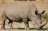 White rhinoceros grazing on short grass