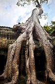Big bayan tree growing on the ancient ruin of Ta Phrom buddhist temple in Angkor region,  Cambodia.