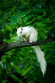 image of albinos  - Rare white squirrel in a tree in the city park in Olney Illinois one of the few places were a large number of them exist. The squirrels are not albino but have white fur from leucism.