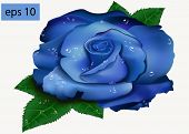 beautiful blue rose