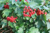 Viburnum Berries.