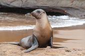 Galapagos Sea Lion Alert On Beach