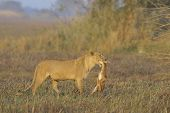 stock photo of lioness  - A lioness with new - JPG