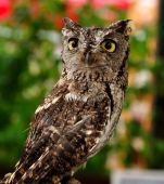 Female Western Screech Owl