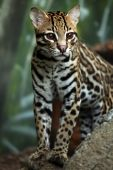 foto of ocelot  - Closeup of an Ocelot against a blurred background.