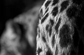 Leopard Croup Detail