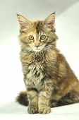 portrait of beautiful young 4 month old maine coon cat