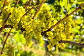 grapes in the vineyard of winemaker. vineyard in autumn.