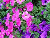 Flowers Of Pink And Purple Petunias
