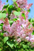 Blossoming Pink Lilac