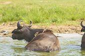 stock photo of cape buffalo  - Yellow - JPG