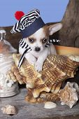 chihuahua in hat
