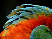 Close Up Of Orange And Green Harliquin Macaw's Neck Feathers