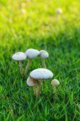 White Mushrooms On The Lawn