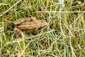 Rana Temporaria Frog