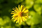Yellow Marguerite