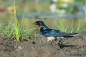 Red-chested Swallow (hirundo Lucida) Gathering Mud For A Nest