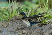 Red-chested Swallow (hirundo Lucida) Ready For Take Off