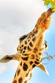 Tongue of a giraffe (Giraffa camelopardalis) reaches out to grab some leaves