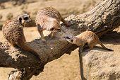 Adult Meerkats ( Suricata suricatta ) with baby.