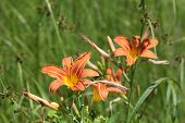image of day-lilies  - Day lilies are rugged - JPG