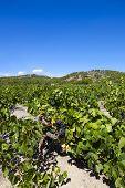 Large Vineyard At Gruissan