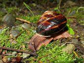 Pacific Sideband Snail - Monadenia fidelis