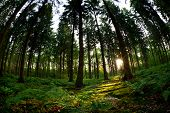Morning Sunshine In Coniferous Forest