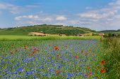 Meadow With Cornflowers And Poppies In Auvergne
