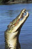 Australian Saltwater Crocodile in river