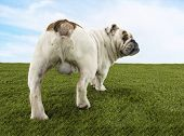 stock photo of testicle  - Rear view of a male British bulldog standing on grass against the sky - JPG