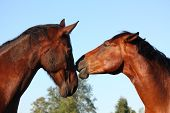 Two Brown Horses Lovingly Nuzzling Each Other