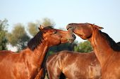 Two Brown Horses Fighting Playfully