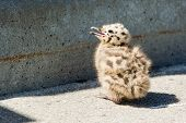 Common Gull Chick