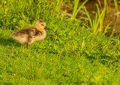 Canada Goose Goose Gosling