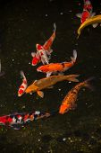 pic of koi  - Colorful Koi fish in a pond top view - JPG