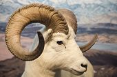 Big Horn Sheep Close