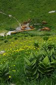 foto of annecy  - Herd of tarine cows at the watering hole in Semnoz mountain near Annecy Savoy France - JPG