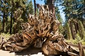 Tree Root Wood  Sequoia