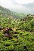 Munnar tea plantations india