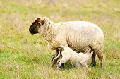 stock photo of spring lambs  - Oregon spring lambs in a ranch pasture