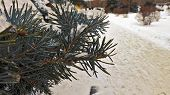 Branch Of Fir-tree In Snow