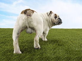 pic of testicle  - Rear view of a male British bulldog standing on grass against the sky - JPG