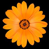 picture of orange blossom  - Blossoming Orange Pot Marigold Flower - Beautiful Calendula officinalis in Full Bloom Isolated on Black Background.