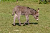 Two Months Old Young Baby Donkey Foal Walking Across A Field