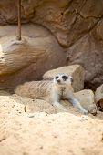 Meerkat Lying On The Sand