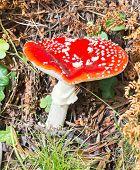 Red Poisonous Mushroom In Vall De Nuria