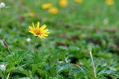 Wild Daisy Flowers Growing On Green Meadow
